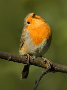 Superb Nature, Robin by Pepsovich http://ift.tt/YAtCb1