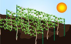 10 Tips on How to Grow Grape Vines - wikiHow
