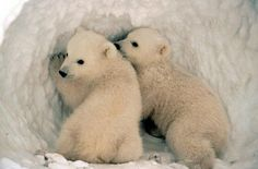 Polar Bears  Polar bear mothers are amongst the most affectionate and protective in the animal kingdom, a devotion that begins right from birth.