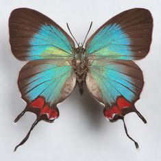 Evenus coronata
