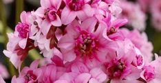 Bergenia DRAGONFLY ® 'Sakura' op vasteplant.be