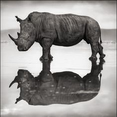 White Rhino on Lake, Nakuru, Nick Brandt, 2007