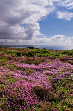 Acoss the Purple Heather, St Agnes Beacon, St Agnes, West Cornwall