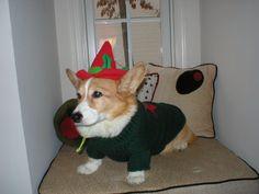 one of santa's elves  The Daily Corgi