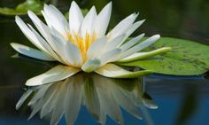 National Flowers of French Guiana - Water Lily Wallpaper Flower, Lily Wallpaper, Flower Backgrounds, Lotus Wallpaper, Lotus Flower Art, White Lotus Flower, Lily Pictures, Lily Images, Flower Images