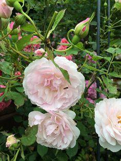 'Lady Salisbury' Rose (David Austin Roses) www.filroses.com