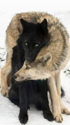 Wolf Photos, Wolf Pictures, Animal Pictures, Nature Animals, Animals And Pets, Beautiful Creatures, Animals Beautiful, Wolf Love, Wolf Spirit