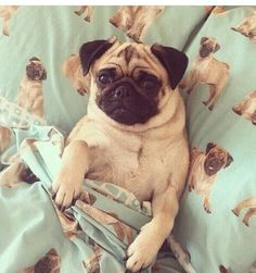Yup, that's right a pug chillin' in pug sheets.
