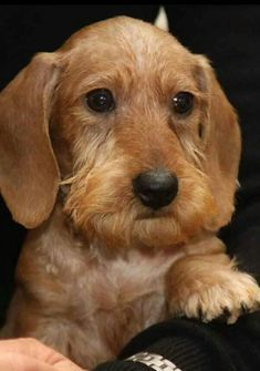 A wire haired dachshund. What a cutie !!!!