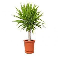 Aunque no hay una talla mínima, solemos hablar de plantas grandes de interior cuando rondan o superan el metro y medio de altura. Hemos recogido las 18 mejores plantas grandes de interior para que …