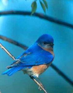 "Blue Bird. Missouri state bird. ~ ""The Blue Bird of Happiness""???"