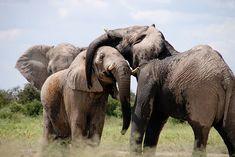 Africa, Elephant, Words, Animal
