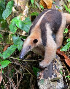 """Northern Tamandua"" type of Anteater by One more shot Rog, via Flickr"