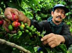 A coffee farmer picks fresh coffee cherries in Colombia. New climate research suggests Latin America faces major declines in coffee-growing regions, as well as bees, which help coffee to grow. Coffee Study, Coffee Art, Fresh Coffee, I Love Coffee, Impact Of Global Warming, Human Environment, Colombian Coffee, Climate Change Effects, Sustainable Food