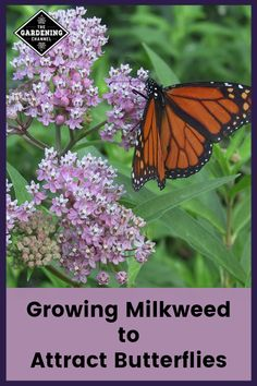 Growing milkweed with Sensible Gardening. Understand the milkweed and monarch butterfly cycle. To be able to have a wonderful Modern … Butterfly Garden Plants, Butterfly Weed, Butterflies, Monarch Butterfly, Swamp Milkweed, Milkweed Plant, Flowers Perennials, Planting Flowers, Potted Flowers