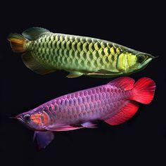 Рыба – легенда