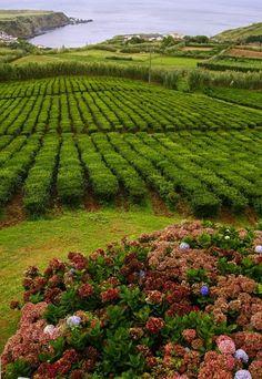 Tea plantation, Azores, Portugal