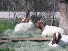 Dixie, Daisy and Dot- my pet Boer does :0)  #goats