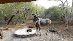 kudu in marloth park Marloth Park, South Africa, Cow, Country, Animals, Animales, Rural Area, Animaux, Country Music