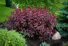 Buy Purple Leaf Sandcherry Online. Arrive Alive Guarantee. Free Shipping On All Orders Over $99. Immediate Delivery.