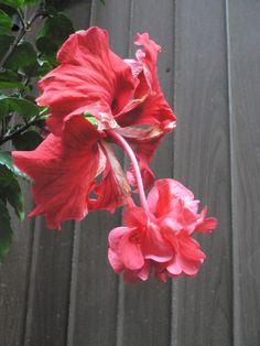 フラミンゴが咲いた。家では冬越しはムリだろうなw