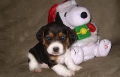 beagle snoopy