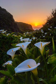 Coastal Callas in Big Sur, California, USA