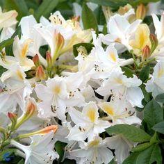 Daviesii - Knaphill Azalea - Rhododendron Daviesii