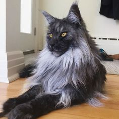 Interested in owning a Maine Coon cat and want to know more about them? The Maine Coon kitten adoption will Cute Kittens, Cats And Kittens, Pretty Cats, Beautiful Cats, Cool Cats, I Love Cats, Gatos Cat, Image Chat, Maine Coon Kittens
