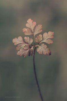 Leaf by yavuzselimturan http://ift.tt/1B2ga0x