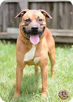 Mt. Vernon, IN - Boxer/German Shepherd Dog Mix. Meet Bradley, a dog for adoption. http://www.adoptapet.com/pet/13640397-mt-vernon-indiana-boxer-mix