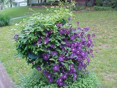 Types of Clematis Long Blooming | Then after all the blooms are long gone from the C. Etoile Violette I ...