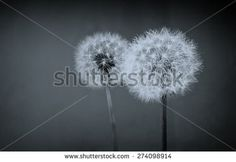 Two dandelion balls over blue black background