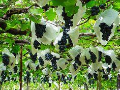 A vineyard of the Fuefuki Wine, Yamanashi pref.