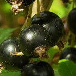 Kedy strihať jostu Eggplant, Vegetables, Gardening, Lawn And Garden, Eggplants, Vegetable Recipes, Veggies, Horticulture