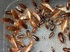 How to Get Rid of German Cockroaches: An Ounce of Prevention is Worth a Pound of… – The Environmental Alternative For Safer Pest Control How To Kill Cockroaches, Killing Roaches, Roaches Get Rid Of, Roach Remedies, German Cockroach, Roach Killer, Diy Pest Control, Garden Pests, The Cure
