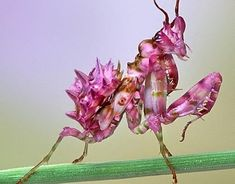 PetsLady's Pick: Totally Cool Orchid Mantid Of The Day  ... see more at PetsLady.com ... The FUN site for Animal Lovers