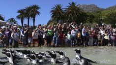 Sud Africa, dopo le cure i pinguini tornano in libertà