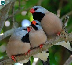 https://www.facebook.com/WonderBirdSpecies/ Long-tailed finch/Blackheart…