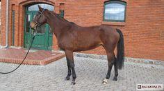 Polish Half-Bred Horse - mare Czanda