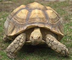 Everything you should know about the Sulcata Tortoise. The Sulcata Tortoise is a giant tortoise, weighing in at over 200 lbs. Tortoise Food, Sulcata Tortoise, Tortoise Care, Giant Tortoise, Tortoise Turtle, Bronx Zoo, Reptiles And Amphibians, Mammals, Large Animals
