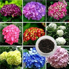 Flower Seeds Hydrangea Hydrangea 10 Pcs Mixed by FlowerStoriesWay Hydrangea Seeds, Hydrangea Flower, Flower Seeds, Flower Pots, Hydrangeas, Gardening Supplies, Colorful Flowers, Beautiful Flowers, Bonsai Seeds