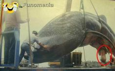 """funny animals - Blue Whale Penis. Read description to understand """" why the ocean is so salty."""" #kit #fishh #mating #big #amusing #joke #funny - Funomenia"""