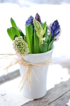 Hyacint wit en blauw