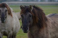 Konik Ponies, Stallion portrait.