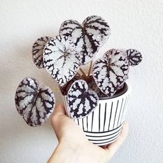 This is how the young begonia silver dollar & # I mentioned that .This is how the young begonia silver dollar & # I mentioned that once . How to Care for Potted Plants . Cool Plants, Potted Plants, Garden Plants, Indoor Plants, Foliage Plants, Garden Beds, Vegetable Garden, Art Floral Japonais, Cactus Plante
