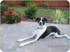 South Bend, IN - Pointer/Boxer Mix. Meet Clara, a dog for adoption. http://www.adoptapet.com/pet/10620410-south-bend-indiana-pointer-mix