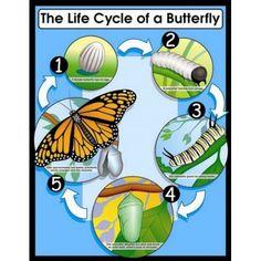 Proporciona una introducción sencilla del concepto del ciclo de la mariposa.