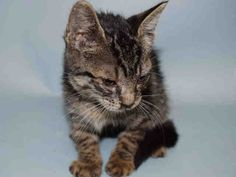 LESTER - A1090187 - - Manhattan  ***TO BE DESTROYED 09/25/16 *** ANOTHER CHANCE FOR CUTE LITTLE LESTER!!…..A volunteer writes: My name is Lester, and I'm a 6 week old boy. I look like a mini tiger, but I am more like a friendly little lamb. I love spending time with my human friends and playing with streamers. Streamers are the best. Also the best would be a forever home! I would really love to find a safe and loving forever home where I can grow up big and stro