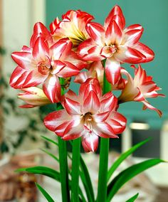 Recent research by the bulb growers has discovered that flower bulbs are one of the most profitable plants. These bulbs are one of the best crops for the specialty flower grower who is expanding for profit.